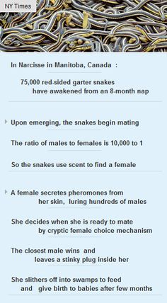 75K snakes awake after 8m nap in #Narcisse #Canada #worldofsnakes #science #vc #startup http://arzillion.com/S/89XJgz