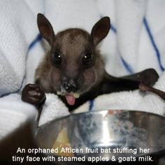 An orphaned African fruit bat stuffing her tiny face with steamed apples and goats milk at Bat World Sanctuary