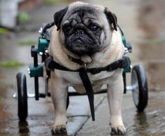 A pug dog fitted with new wheelchair. this is soooooooooo cute but soooooooooo sad at the same time. it makes yourealise how lucky you are. well if you are a dog!!!!!!!!!!!