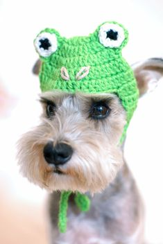 Omg how adorable is this little mini schnauzer❤️✨