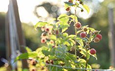 https://flic.kr/p/JrKVxv   Raspberry Season   Happy Monday, have a great new week! :)