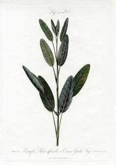 Example Salvia officinalis, Common Garden Sage from Robert Thornton Botanical Extracts 1810 Herb Tattoo, Botanisches Tattoo, Plant Tattoo, Leaf Tattoos, Botanical Tattoo, Botanical Drawings, Botanical Prints, Sage Herb, Sage Plant