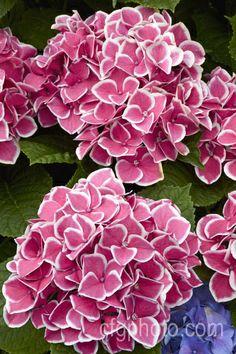 Hydrangea macrophylla 'Edgy Hearts' Hortensia Hydrangea, Hydrangea Macrophylla, Hydrangea Garden, Garden Shrubs, Flowering Shrubs, Hydrangea Flower, My Flower, Hydrangeas, Strange Flowers