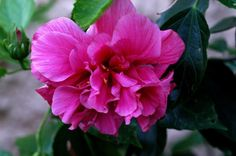 Double hibiscus.  We had these growing in our yard in Liberia.  So gorgeous!