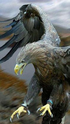 Águila real - Golden Eagle - Steinadler - Aigle royal
