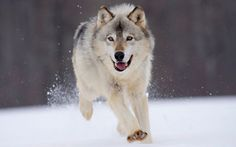 Gray Wolf Is A Keystone Predator Of The Ecosystem