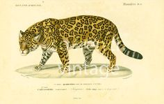 Authentic lithograph, the Jaguar. This print is taken from the Dictionnaire Universel d'Histoire Naturelle, a publication directed by the french naturalist Charles Henry De... #orbigny
