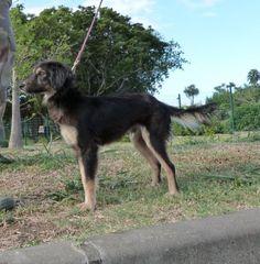 DIABOLO  (adulte) SPA Réunion(Réunion)