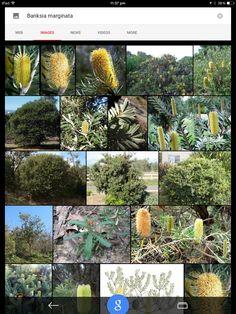 Banksia margenata