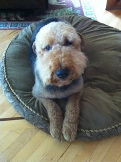 Snoop the Airedale dog