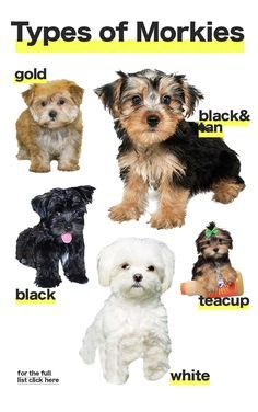 The different types of Morkie dogs colors and sizes