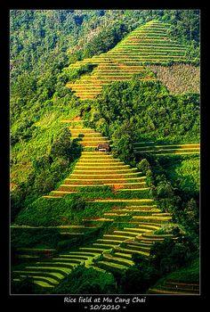 Rice terraced fields . Vietnam