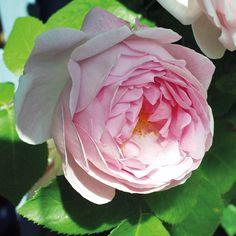 Constance Spry ros Flora Linnea