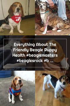Everything About The Friendly Beagle Puppy Health #beaglemasters #beaglesrock #beaglepuppy Adoptable Beagle, Beagle Puppy, Puppies, Health, Dogs, Animals, Cubs, Animales, Health Care