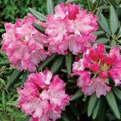 Rhododendron Southgate™ Brandi | From Wayside Gardens