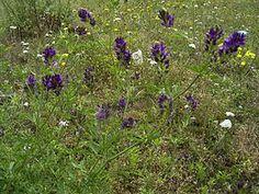 Lucerne of alfalfa, vlinderbloemige en dus goede groenbemester, niet geschikt voor kleigrond