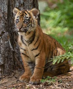 Sumatran tiger cubs are melting hearts at the San Diego Zoo Safari Park