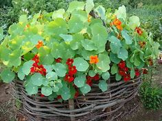Growing edible flowers for spectacular garden design is fun, but food decoration with edible flowers is even more fun Edible Rose Petals, Edible Roses, Summer Flowers, Red Flowers, Beautiful Flowers, Edging Plants, Vertical Garden Diy, Seed Pods, Companion Planting