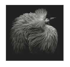 "Saatchi Art Artist: Lee Howell ABIPP; Black & White 2010 Photography ""Beauté Aviaire: Original Crane (Edition of 15)"""