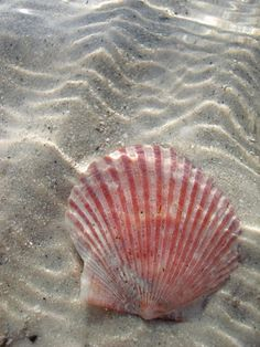 look leigh-la, a beautiful pink shell at the ocean.you would love to see this, and wiggle your toes in the warm sand . a nice you and i will have so wonderful and peaceful. I Love The Beach, Am Meer, Ocean Life, Ocean Beach, Beach Walk, Marine Life, Sea Creatures, Under The Sea, Photos