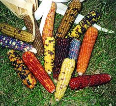 MINI COLORED POPCORN - Pinetree Garden Seeds - Vegetables  - 1