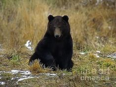 Black Bear, Brown Bear, Fine Art America, Digital Art, Wall Art, Artwork, Work Of Art, American Black Bear, Auguste Rodin Artwork