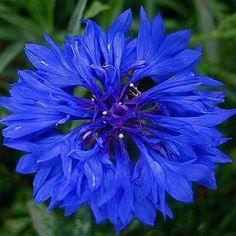 Blue bachelor buttons -- prettiest bouquets ever