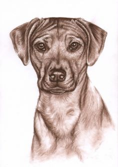 "Saatchi Online Artist: Nicole Zeug; Charcoal, Drawing ""Rhodesian Ridgeback"""