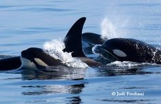 Californian transient orcas!