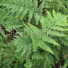 image de Dryopteris spinulosa Quebec, Planting Flowers, Landscaping, Photos, Image, Gardens, Index Cards, Plants, Pictures