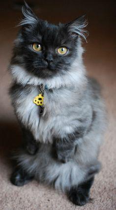beautiful smokey grey Munchkin cat