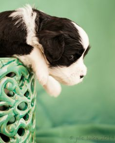 Puppy in a jar - Daisy - day 25 | Yare Portuguese Water Dogs