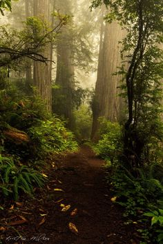 A forest path is obscured by the trees, all of your mental journeys are not readily visible destinations, at times we don't see the beauty of the forest from the excess of trees. We should stop and admire the forest more on our path. Forest Path, Tree Forest, Misty Forest, Redwood Forest, Forest Trail, Conifer Forest, Forest Scenery, Magic Forest, Beautiful World