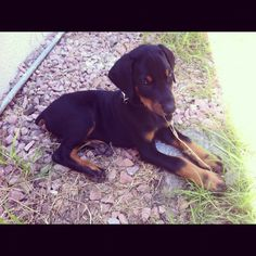 Doberman puppy  8 weeks Awwwwwwwww