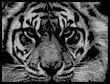 Tiger Close-Up Row-By-Row Crochet Graphghan Pattern(small) -