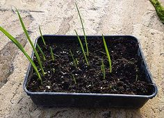 HOW TO GROW ALLIUM GIGANTEUM FROM SEED |The Garden of Eaden:  Plant seeds in seed tray in January.  See post for the rest of the directions.