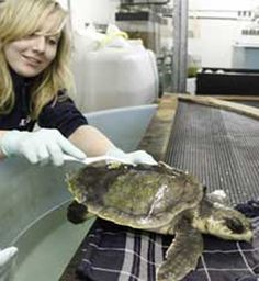 Flip, a female Kemp's Ridley Sea Turtle, wound up 5000 miles from home last December. After a year of rehab in the Netherlands, she has now returned to her birthplace on the Texas seashore.