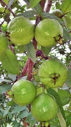 Guavas in the Philippines Fruit Plants, Fruit Garden, Fruit Trees, Vegetable Garden, Colorful Fruit, Tropical Fruits, All Fruits, Healthy Fruits, Fruit And Veg