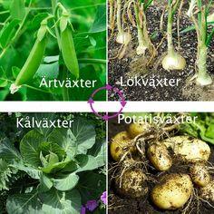 Förklaring hur växelbruk fungerar i odling av grönsaker | Wexthuset Potager Garden, Garden Landscaping, Crop Rotation, Green Rooms, Green Garden, Vegetable Garden, Gardening Tips, Flower Power, Eco Friendly