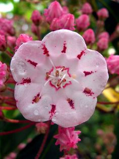 ~~Mountain Laurel (Kalmia latifolia) by farmertodd~~
