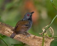 Dull-mantled Antbird - northern South America