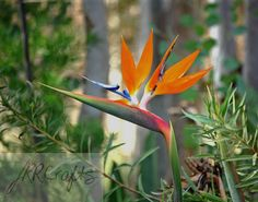 """Bird of Paradise by JRRCrafts on Etsy, $30.00 Please """"like"""" my page on Facebook, One Crafty Rose, to keep up to date with the newest items!  Thank you for looking at my crafts!"""
