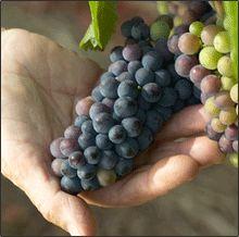 Black Kite Cellars :: Hand Crafted Artisan Wine