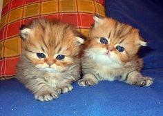 Gatti persiani Chinchilla