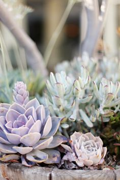 Purple Wedding Flowers Sweet Lilac Wedding Color Trend… Photo Credit Sweet Lilac is a combination of soft tones of purple and baby pinks for a sweet result of a Dusty Rose, sunset color. Lilac Wedding Colors, Purple Wedding, Wedding Flowers, Succulent Gardening, Cacti And Succulents, Garden Plants, Gardening Tips, Indoor Plants, Sunset Colors