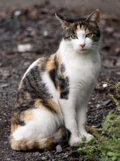 calico cat | Description Stray calico cat near Sagami River-01.jpg