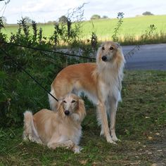 2 year old Silken Windhound brothers, Smartypants (left), Basse (right)