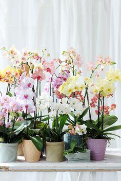 #orchid #orchidee #bunt #living #inspiration #wohnideen #phalaenopsis #pflanzenfreude