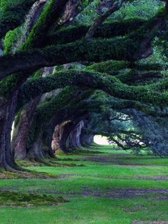"200 yr old live oaks from Oak Alley Plantation, a National Historic Landmark, in Vacherie, Louisiana, USA. The plantation was originally named Bon Sejour, but its name was changed when the 800 ft long ""alley"" of live oaks ""grew up"""