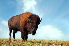 Several locations across Oklahoma offer the opportunity to see buffalo herds roaming wild. A few of the top options include Wichita Mountains Wildlife Refuge near Lawton and the Tallgrass Prairie Preserve in Pawhuska. Oklahoma, USA